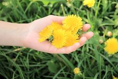 Picking dandelions for healthy tea Royalty Free Stock Photo