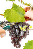 Picking of dark grapes Royalty Free Stock Photos