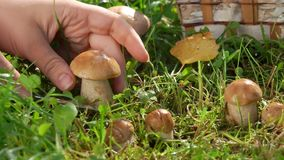 Picking delicious edible mushrooms in a basket. Picking delicious edible mushrooms in a wicker basket stock video
