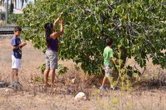 Picking Figs - Family Mother And Children Working Together Royalty Free Stock Photos