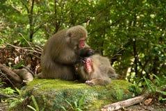 Japanese monkeys picking fleas. Monkeys searching for fleas, Yakushima, Kagoshima, Kyushu, Japan Stock Photos