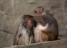 Picking flees. A photo of two monkeys royalty free stock images