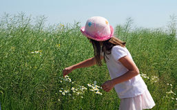 Picking flowers. Little girl picking chamomile flowers Royalty Free Stock Photo