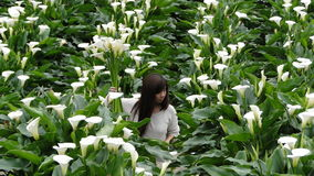 Picking flowers in a calla lily field Stock Images