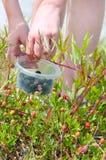 Picking fresh berries Royalty Free Stock Photo