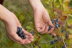 Picking fresh blueberries Stock Photos