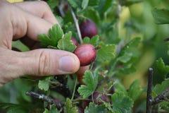 Picking a fresh gooseberry in my garden. Close up of hand grasping at a gooseberry. Nikon DSLR stock photos