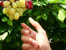 Picking fresh grapes. A hand reaching out to pick some fresh grapes royalty free stock photos
