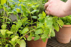 Picking fresh Herbs Royalty Free Stock Images