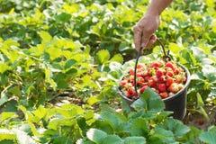 Picking of fresh organic strawberry Stock Photo
