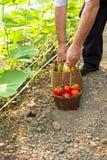 Picking fresh tomatoes Royalty Free Stock Photo
