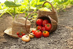 Picking Fresh Vegetables Royalty Free Stock Photos