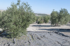 Picking the fruit in olive grove Stock Photos