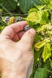 Picking the fruit Rubus sp Stock Image