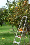 Picking fruits from tree Stock Photos