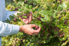 Picking gooseberries Royalty Free Stock Photo