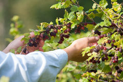 Picking gooseberries Stock Photo