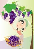 Picking grape Stock Photos