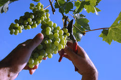 Picking the grape. Photo of picker picking the grape, concept of viticulture Stock Images