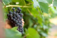 Picking grape Stock Image
