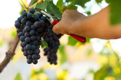 Picking grape Royalty Free Stock Photo
