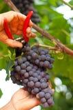 Picking grape Royalty Free Stock Image
