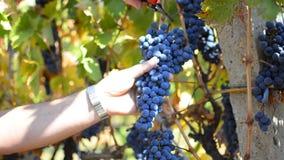 Picking Grape stock video