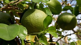 Picking grapefruit from tree stock video footage