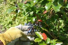 Picking Grapes Royalty Free Stock Photos