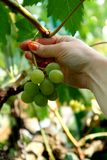 Picking grapes Royalty Free Stock Image