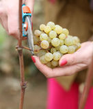 Picking grapes. A woman's hands cutting grapes Royalty Free Stock Photography
