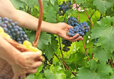 Picking grapes Stock Photography