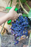 Picking grapes - harvest time Royalty Free Stock Images