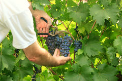 Picking grapes - harvest time Stock Image
