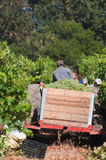 Picking grapes, Stellenbosch, South Africa Royalty Free Stock Photography