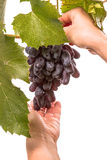 Picking of grapes on white Stock Images
