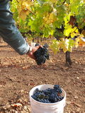 Picking grapes for wine. Picking blue grapes (Merlot) for wine making. One hand a bunch of grapes and green yellow leaves. A bucket with grapes at the bottom Stock Photos