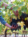 Picking grapes for wine. Picking blue grapes (Merlot) for wine making. Two hands a bunch of grapes and green yellow leaves Stock Image