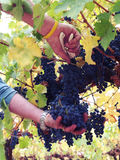 Picking grapes for wine Royalty Free Stock Photo