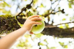 Picking green apple from a tree in summer Stock Images