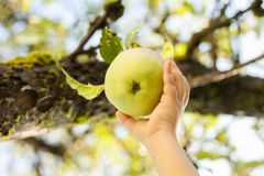 Picking green apple from a tree in summer Stock Photo