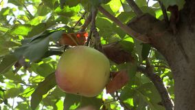 Picking green apples from apple tree in orchard