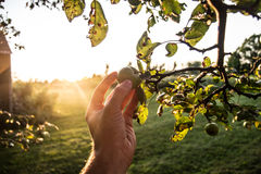 Picking Green Apples. Picking small green apples at sunset Stock Images