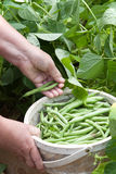 Picking Green Beans royalty free stock photography
