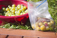 Picking green, red and yellow gooseberries Royalty Free Stock Photo