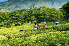 Picking green tea in Indonesia Stock Images