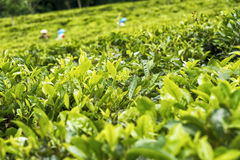 Picking green tea in Indonesia Royalty Free Stock Photo