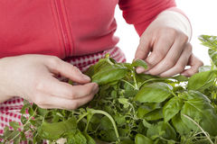 Picking the herbs Royalty Free Stock Photo