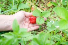 Picking home grown strawberry in garden. Organic berries in hand.  royalty free stock photos