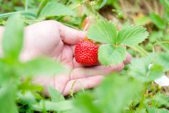 Picking home grown strawberry in garden. Organic berries in hand.  stock photo